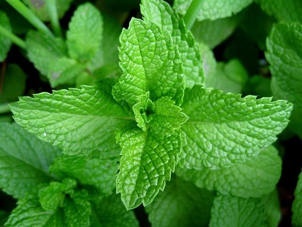 800px-Mint-leaves-2007.jpg